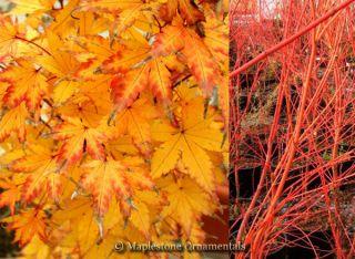Year Sango Kaku Japanese Maple Coral Bark Tree