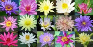 10 Live King Blue Water Lily Plants Bulb Lotus Freedoc