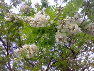 RARE Anatolian White Locust Tree 20 Fresh Seeds