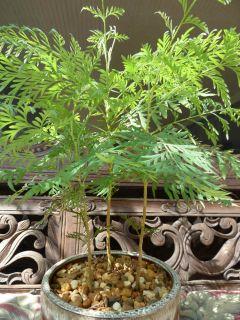 Grevillea Robusta Silky Oak Tree Aust Silver Oak Live Plant LG unusal