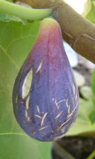 LSU PURPLE~ FIG TREE Ficus carica Edible Fruits to Zone 7 LIVE Plant