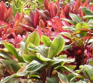 Hawaiian Red Green Lucky TI Plants Logs Tropical