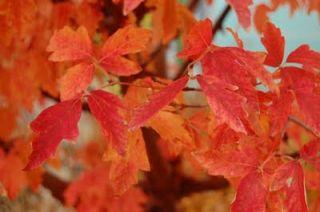 Year Paperbark Maple Japanese Maple Tree