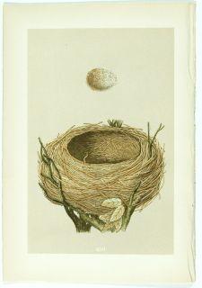 1875 Antique Morris Bird Nest Print 103 Blackbird
