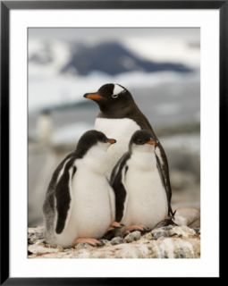 Gentoo Penguins, Petermann Island, Lemaire Channel, Antarctic Peninsula, Antarctica, Polar Regions Pre made Frame