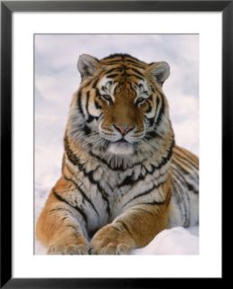 Siberian tiger in snow, Panthera tigris altaica Pre made Frame