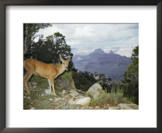 A mule deer on the South Rim of the Grand Canyon Pre made Frame