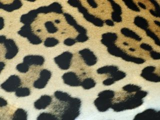Close Up of Jaguar Fur, Costa Rica Premium Poster by Edwin Giesbers