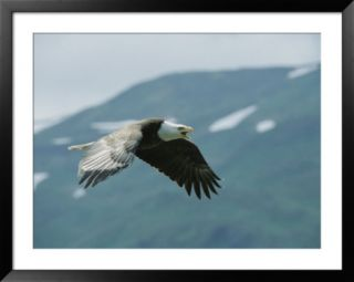 American bald eagle in flight Pre made Frame