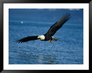 American bald eagle Pre made Frame