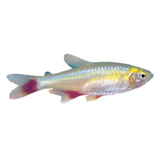 Tropical fish information on all colorful tropical for Aquarium fish for sale online
