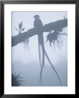 A male resplendent quetzal is silhouetted on tree branch festooned with air plants Pre made Frame