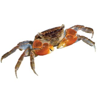 Red Clawed Crab   Fish   Live Pet
