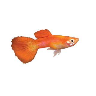 Blonde Tux Delta Guppy   Tropical   Fish