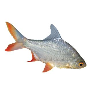 Red Tail Tinfoil Barb   Tropical Semi Aggressive   Fish