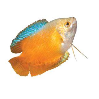Dwarf Gourami   Fish   Live Pet