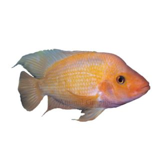 Red Devil Cichlid   South American Cichlids   Fish
