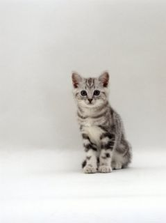 Domestic Cat, 8 Week Silver Tabby Male Kitten Posters by Jane Burton