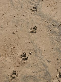 Hyena Tracks, Serengeti National Park, Tanzania Photographic Print by Mary Ann McDonald