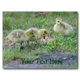 Canada Geese Babies Nature Photo Postcard