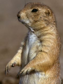 Blacktailed Prairie Dog Stands on Hind Legs Photographic Print by Jeff Foott