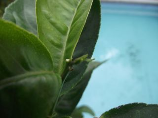 Hand kräftige Citrus medica mit Neuaustrieb und Blüten#255