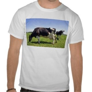Holstein Dairy Cattle Tshirts