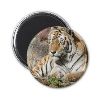 tiger wild animal zoo tigers fridge magnet