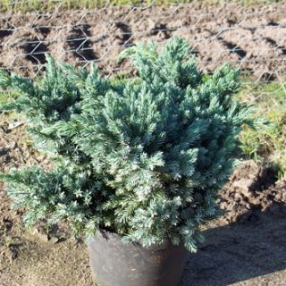 Blauer Zwergwacholder Blue Star (Juniperus squamata Blue Star) im
