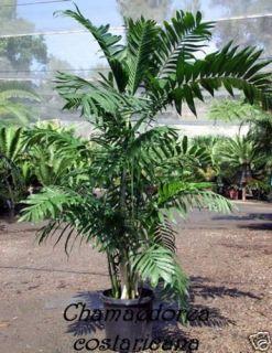 Costa Rica Bambuspalme / chamaedorea costaricana