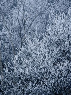 Ice Coaed Birch ree Branches on Ampersand Mounain Phoographic Prin by Maria Senzel