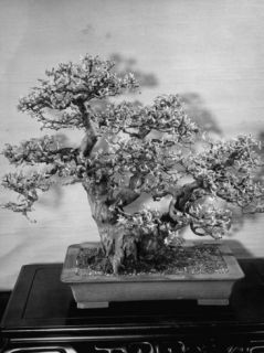 200 Year Old Bushy Bonsai Quince Tree, About 2 1/2 Feet High, in Collection of Keibun Tanaka Premium Photographic Print