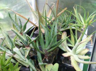 Aloe Sammlung   verschiedene Arten Sorten kräftige Pfl.