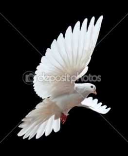 free flying white dove  Stock Photo © Irina Tischenko #1337276